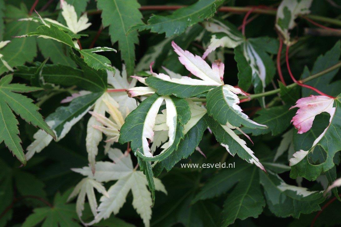 Acer palmatum 'Suruga-nishiki'