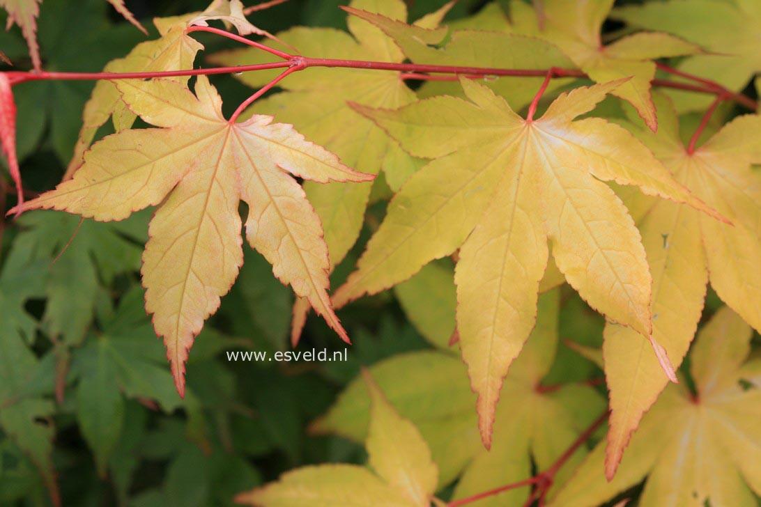 Acer palmatum 'Usu-midori'