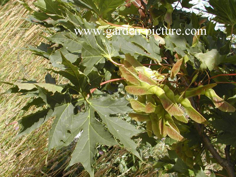 Acer platanoides 'Charles Joly'