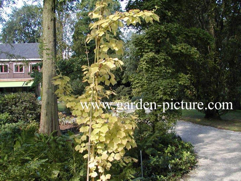 Acer rufinerve 'Erythrocladum'