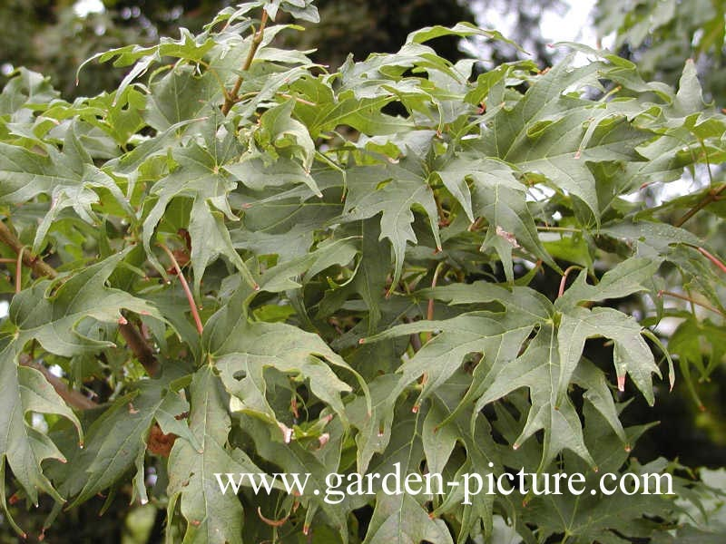 Acer saccharum 'Brocade'