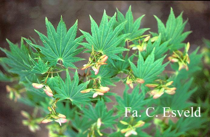 Acer shirasawanum 'Ezo-no-o-momiji'