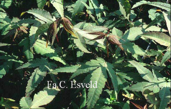 Acer tutcheri