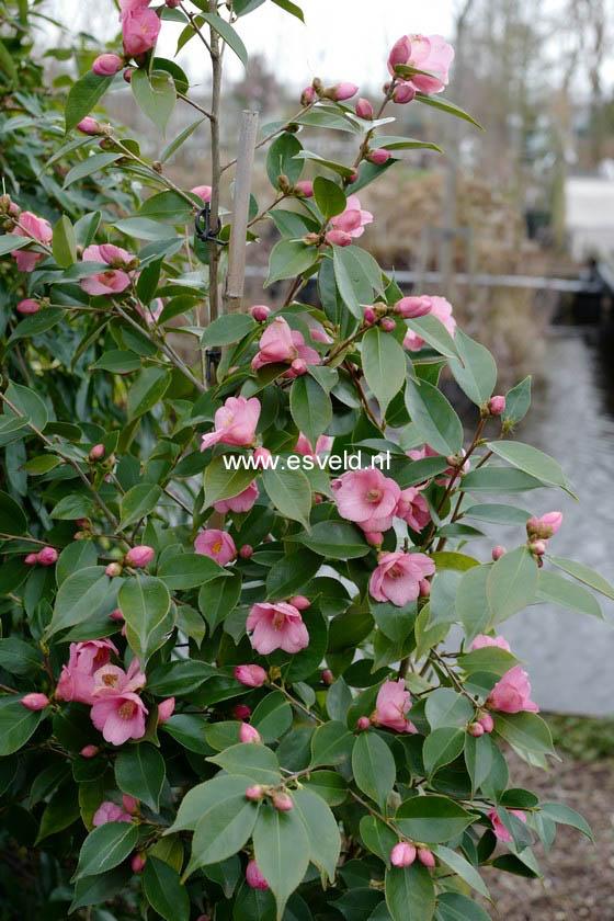 Camellia 'Cornish Spring'