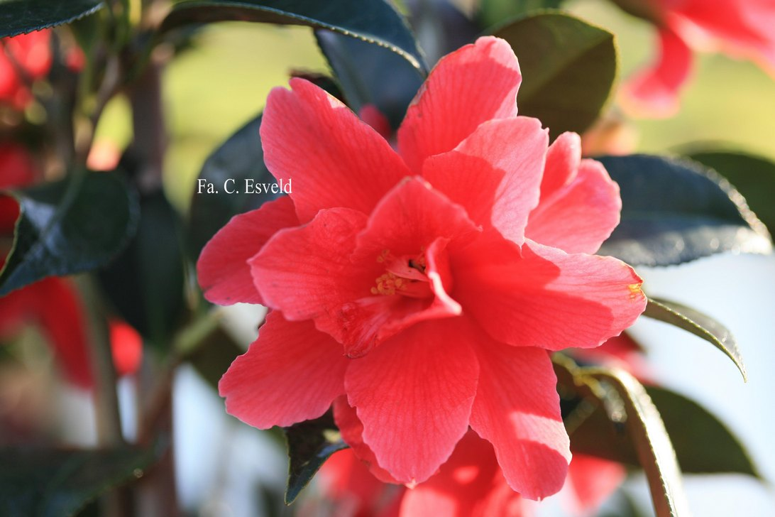 Camellia 'Freedom Bell'