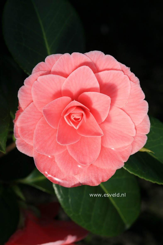 Camellia japonica 'Mrs. Tingley'