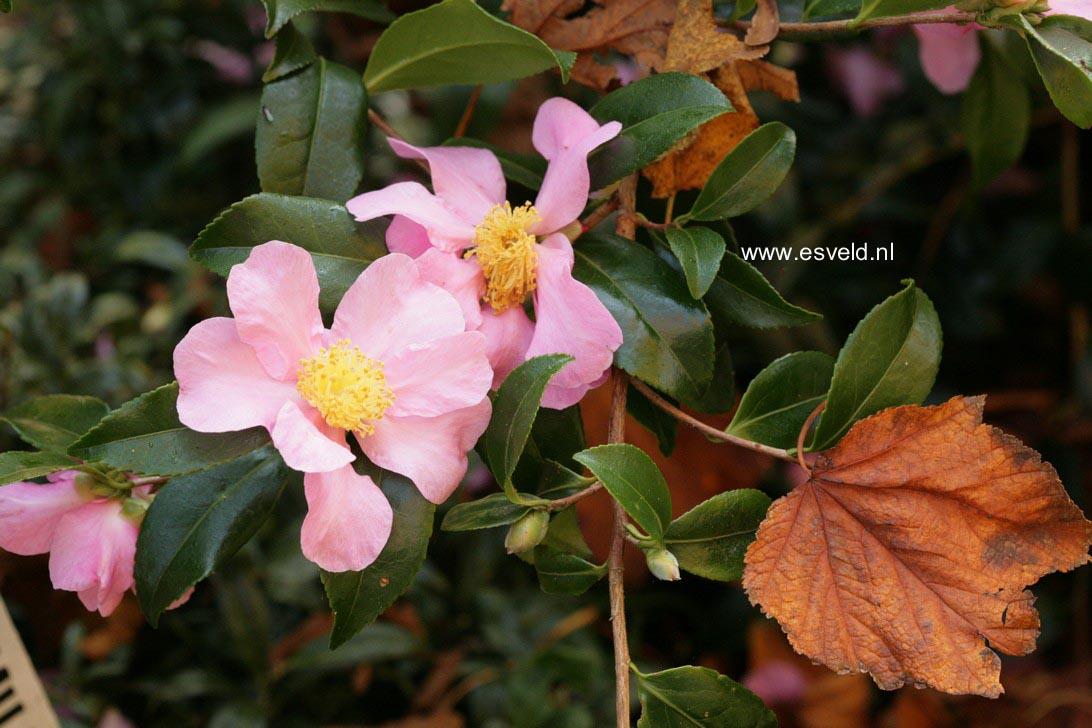 Camellia japonica 'Sanpei-tsubaki'