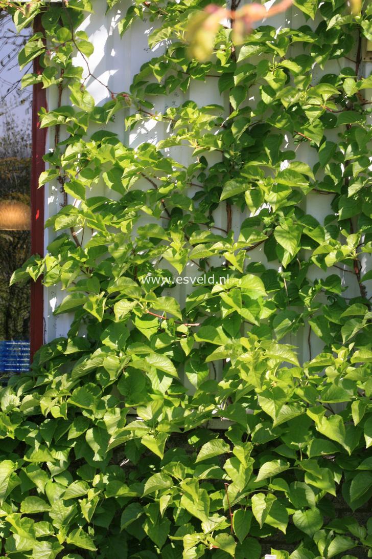 Hydrangea anomala quelpartii