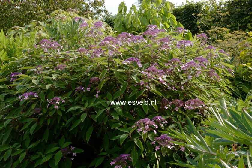 Hydrangea aspera 'Rocklon'