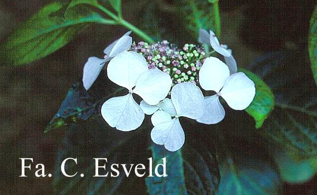 Hydrangea macrophylla 'Angel Light'