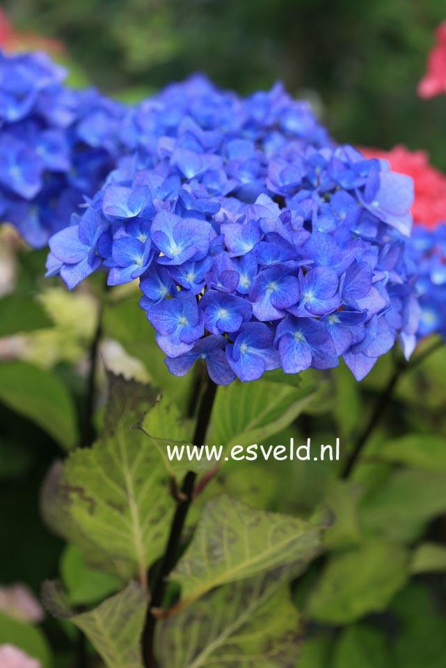 Hydrangea macrophylla 'Blue Ball' (BLACK STEEL)