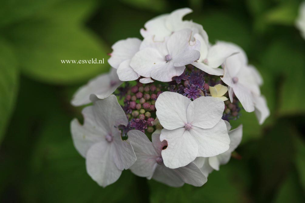 Hydrangea macrophylla 'Dandenong'