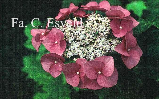 Hydrangea macrophylla 'Eisvogel'