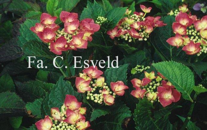 Hydrangea macrophylla 'Fasan' (TWILIGHT)