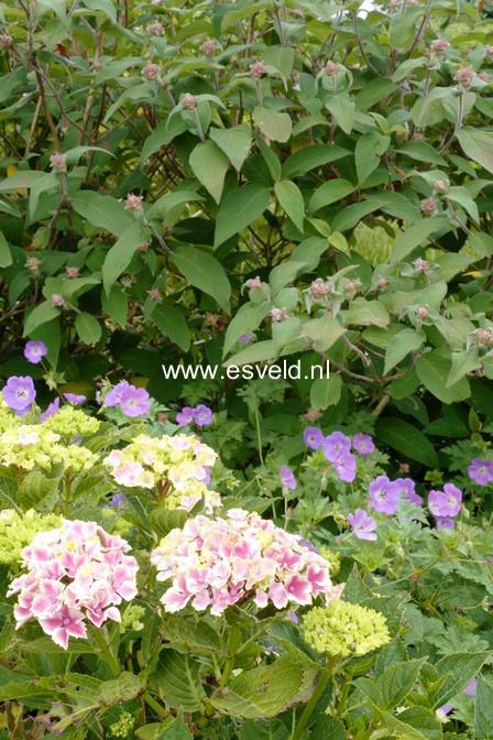 Hydrangea macrophylla 'Frau Mariko'