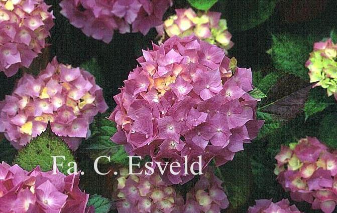 Hydrangea macrophylla 'Goliath'