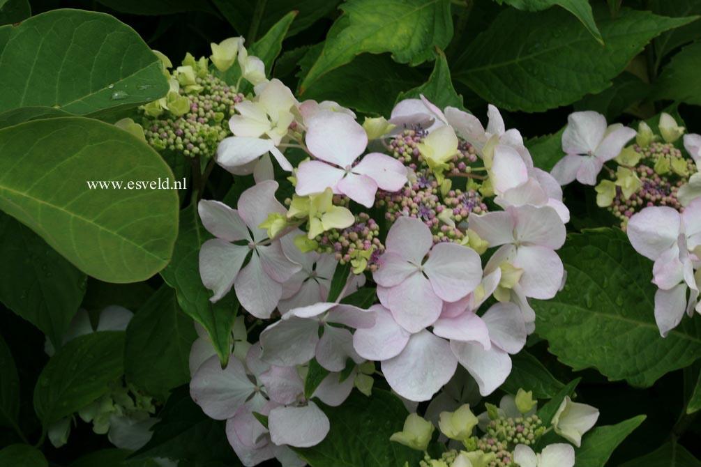 Hydrangea macrophylla 'Great Other'