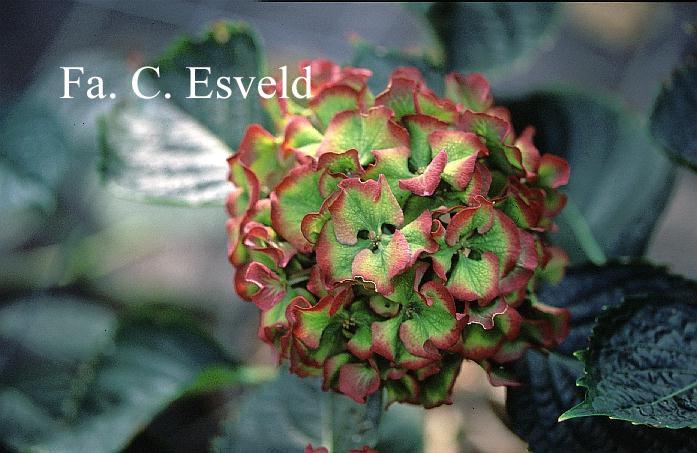 Hydrangea macrophylla 'Masja'