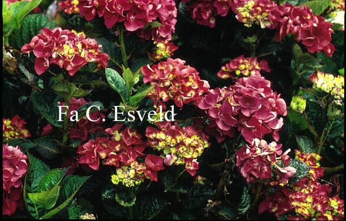 Hydrangea macrophylla 'Merveille Sanguine'