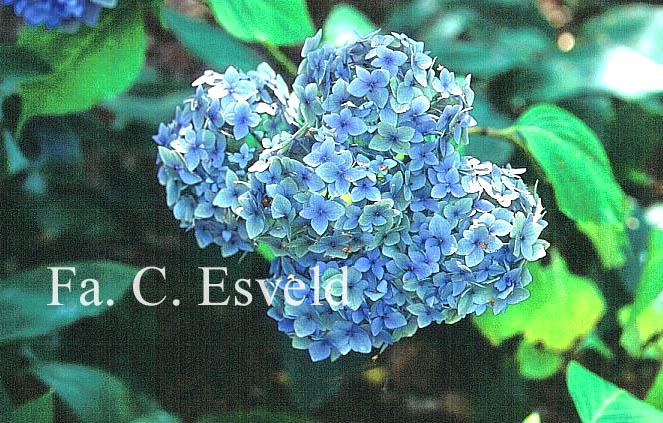 Hydrangea macrophylla 'Mme. Faustin Travouillon'