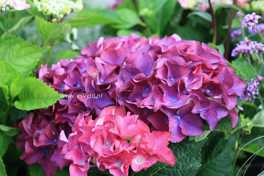 Hydrangea macrophylla 'Red Beauty'
