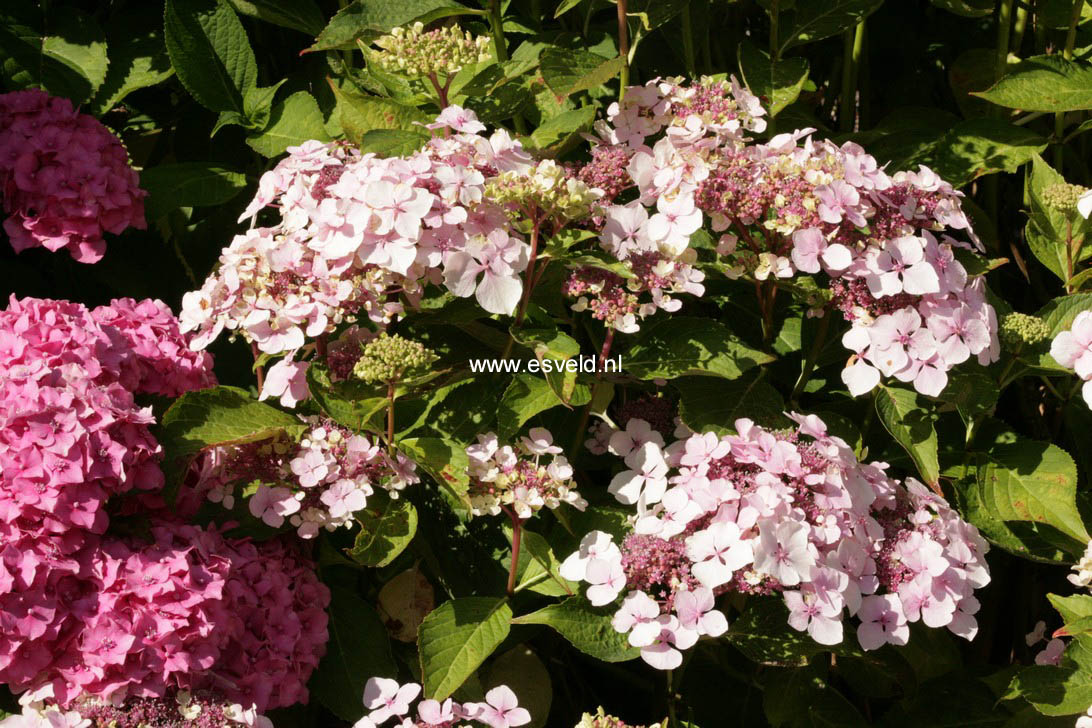 Hydrangea macrophylla 'Rosewarne Lace'