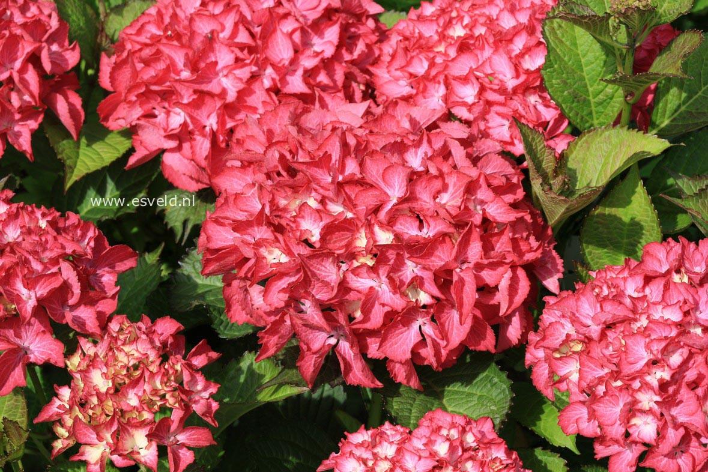 Hydrangea macrophylla 'Selma'