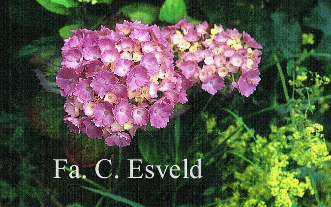 Hydrangea macrophylla 'Setzuka-yae' (syn. 'Domotoi')