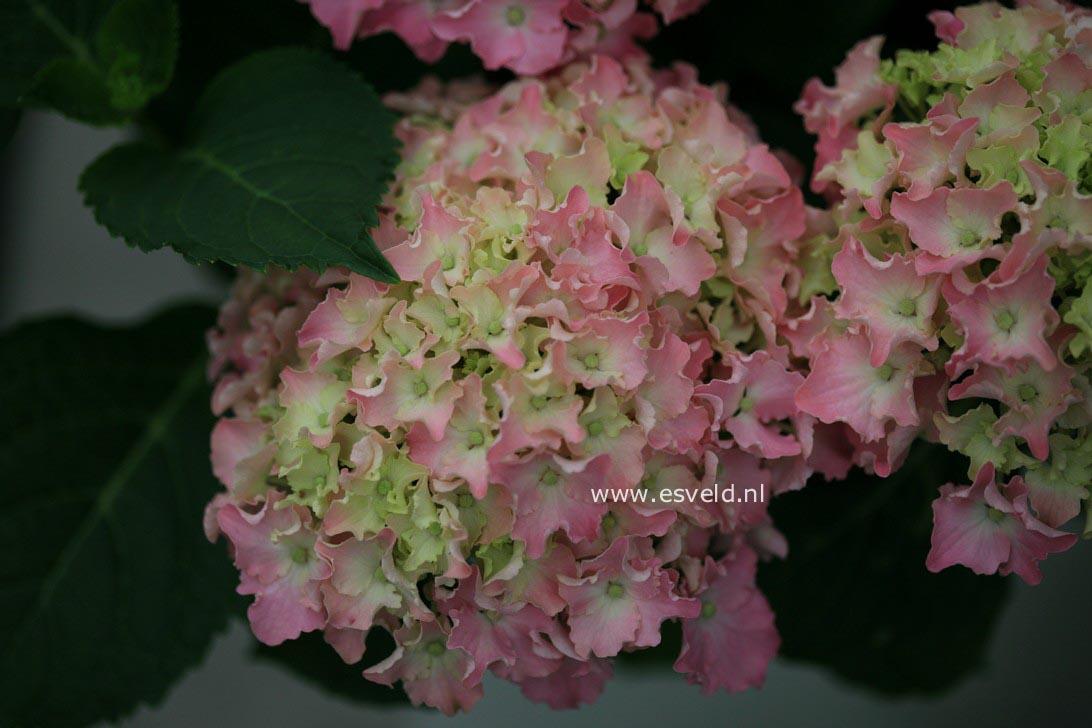 Hydrangea macrophylla 'Spike' (BEAUTENSIA)