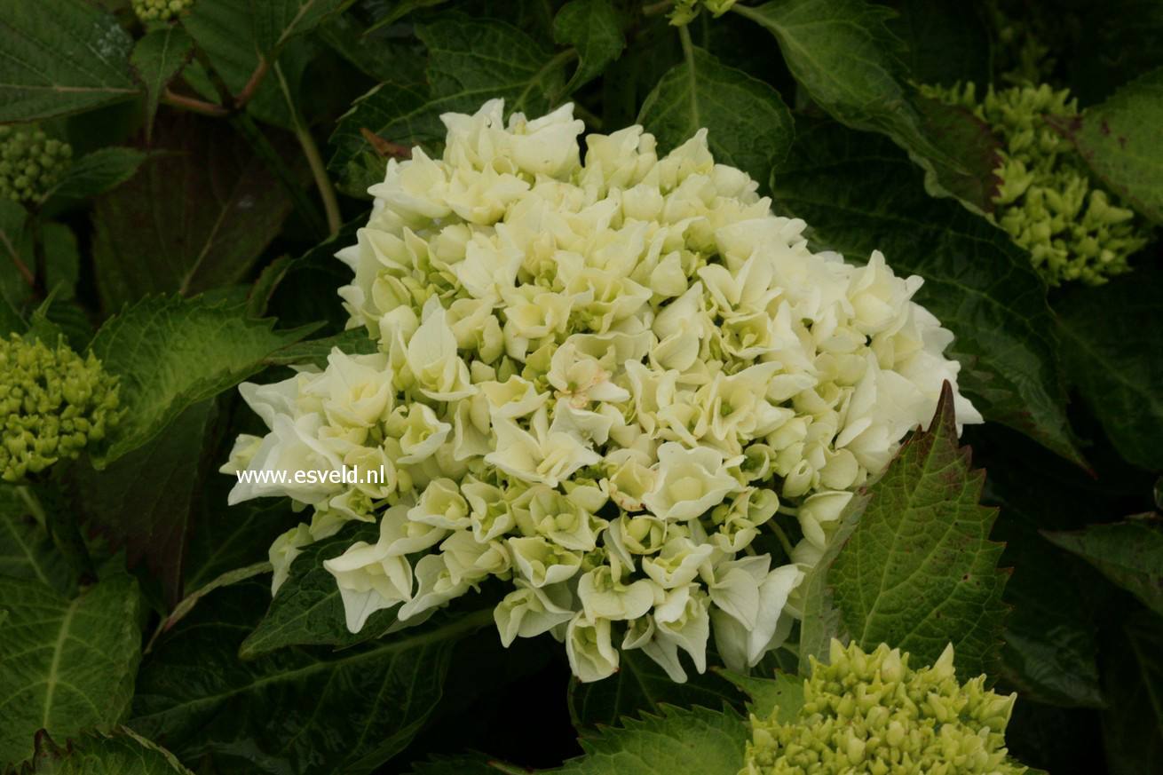 Hydrangea macrophylla 'Wudu'