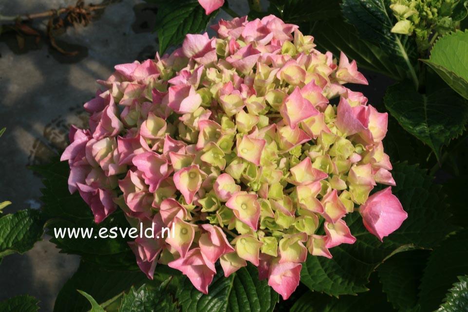 Hydrangea macrophylla 'Yola'