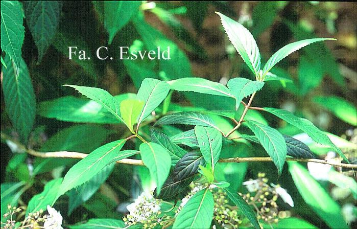 Hydrangea macrophylla stylosa f.indochinensis