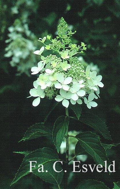 Hydrangea paniculata 'Dolly'