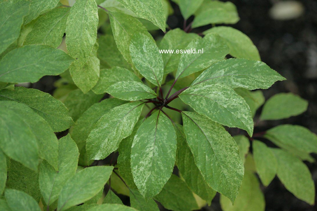 Hydrangea paniculata 'Shikoku Flash'
