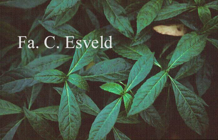 Hydrangea scandens chinensis f. obovatifolia