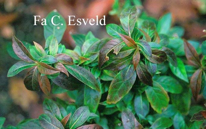 Hydrangea scandens luteovenosa