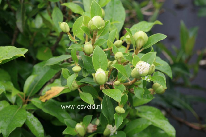 Hydrangea seemannii x serratifolia