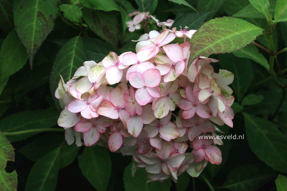 Hydrangea serrata 'Belladonna'