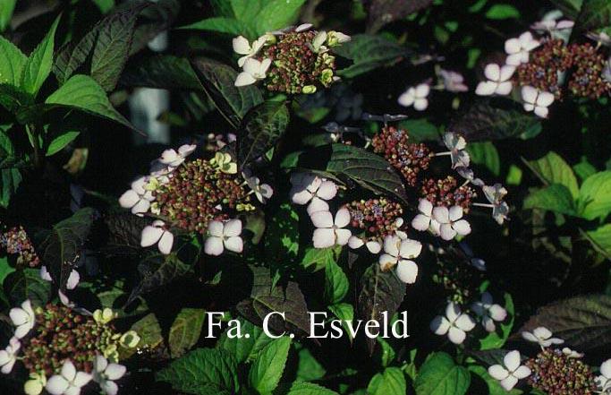 Hydrangea serrata 'Isusai-jaku'