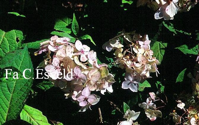 Hydrangea serrata 'Iyo-temari'