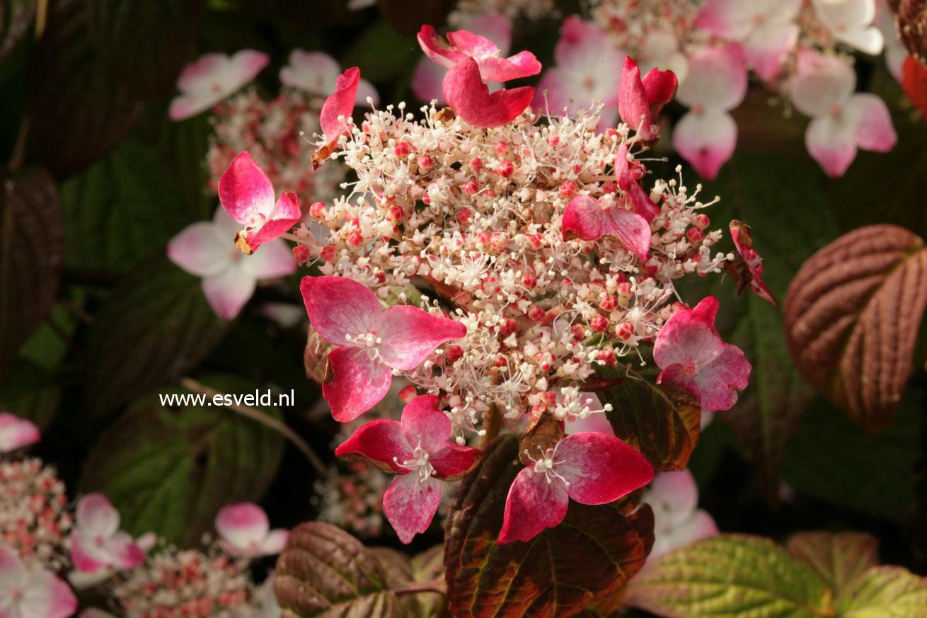 Hydrangea serrata 'Kurenai-nishiki'