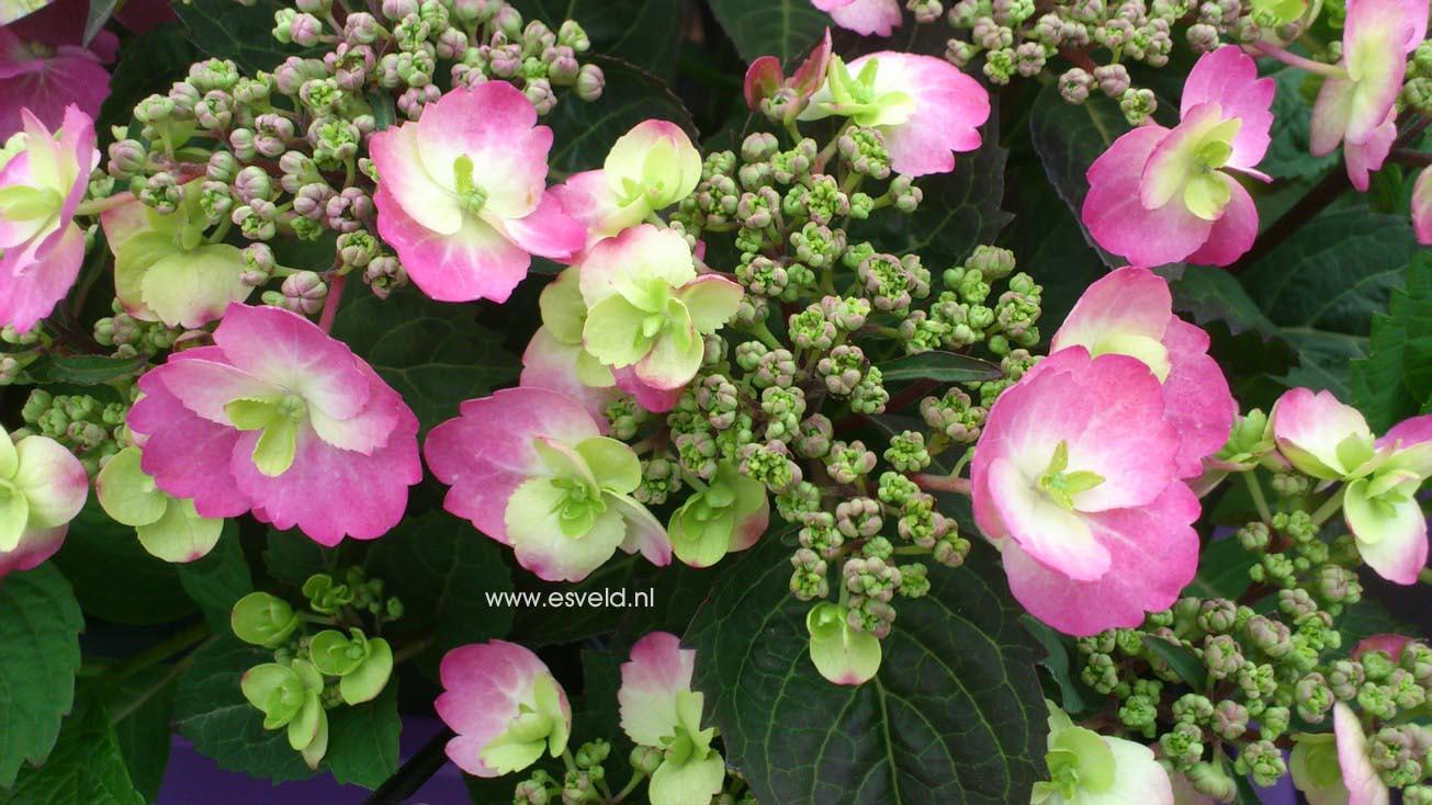 Hydrangea serrata 'MAK 20' (FLAIR & FLAVOURS BLUEBERRY CHEESECAKE)