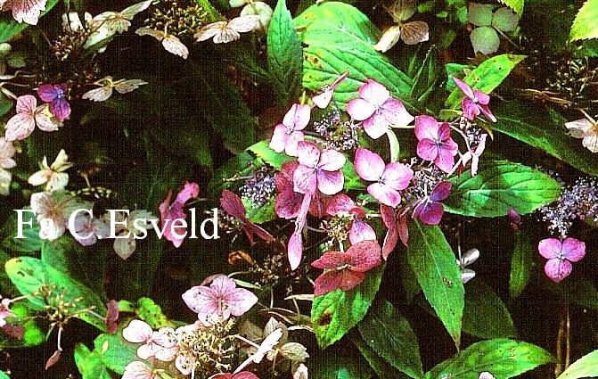 Hydrangea serrata 'Niji'