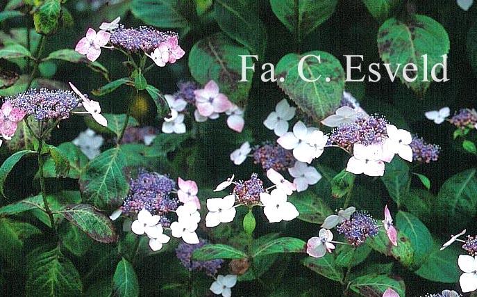 Hydrangea serrata acuminata