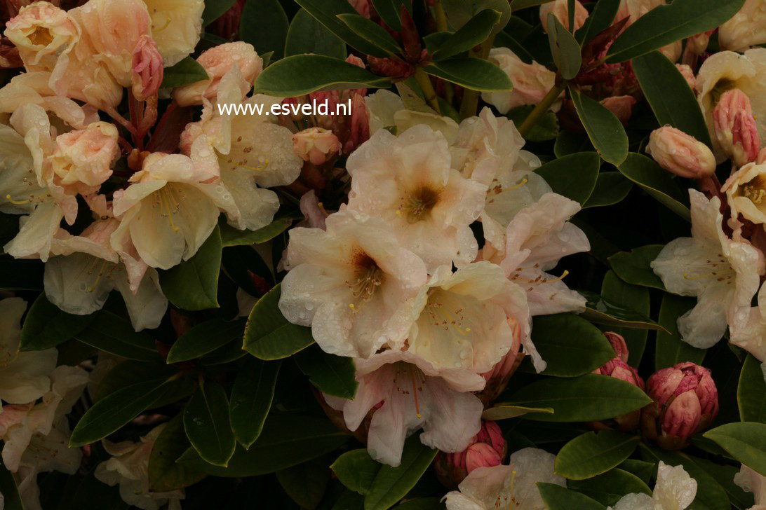 Rhododendron 'Golden Melody'