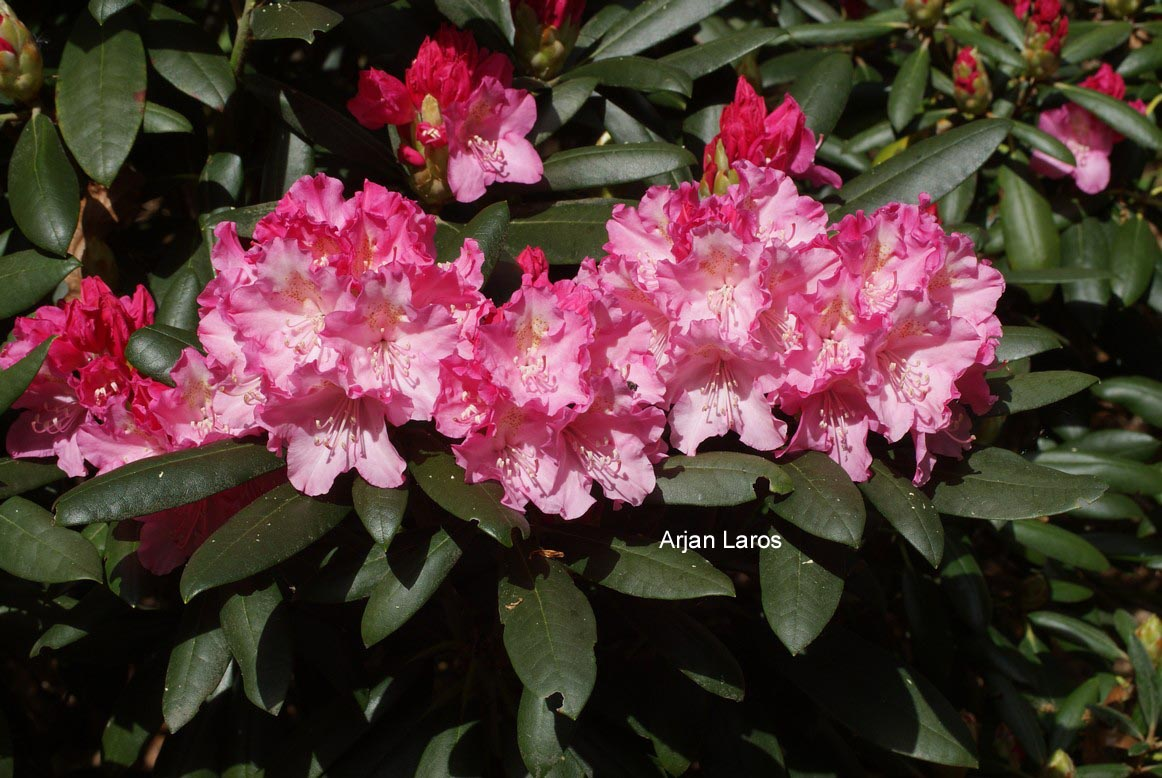 Rhododendron 'Morgenrot'