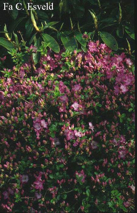 Rhododendron 'Ampo' (Azalea)