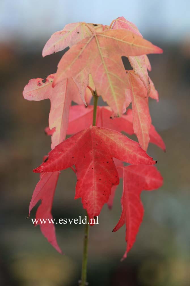 Acer buergerianum 'Hime-kaede'