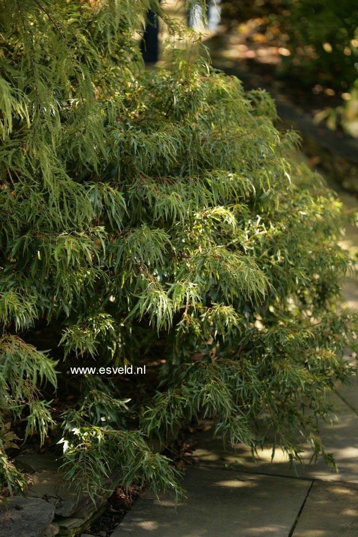 Acer buergerianum 'Mino yatsubusa'