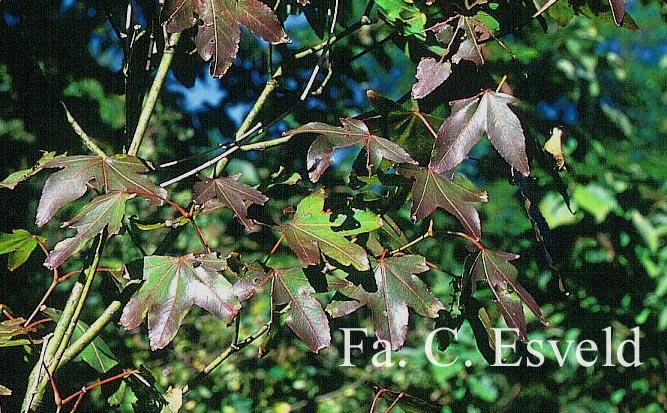 Acer campbellii ssp. flabellatum